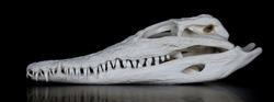 Skull of a Nile crocodile (Crocodylus niloticus) with closed mouth