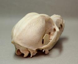 Skull of a small dog. Animal bones for anatomy.