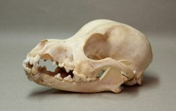 Skull of a small dog. Animal bones for anatomy.