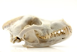 Skull of a trophy wolf isolated on a white background. Selective focus with shallow depth of field.