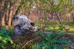 Skull of a wild boar in the forest