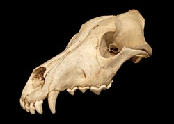 Skull of a wolf (Canis lupus)