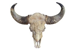 Skull of aging bull head with horn isolated on white background