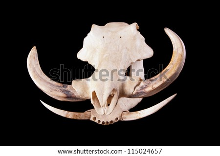 stock-photo-skull-of-an-african-wart-hog-on-a-black-background-115024657.jpg