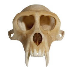 skull of an animal upper jaw isolated on white