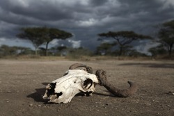 Skull of an antelope in the african drought