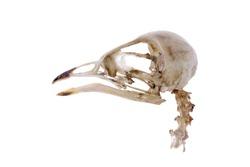 Skull of Bird (House martin) isolated on white
