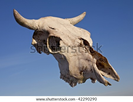 Skull of cow against a blue sky