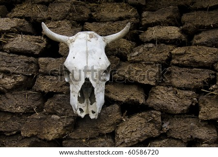 skull of cow in a village yard