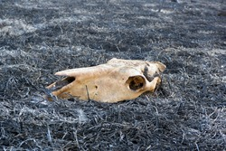 Skull of dead animal in a forest fire on ashes of burnt grass close up view. Wildlife conservation. keep Earth, save animals, protect forests concept