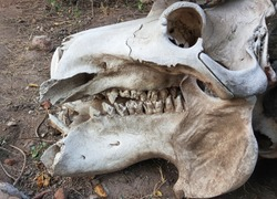 Skull of Hippo with jaws and teeth