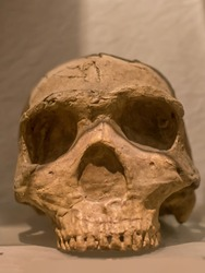 Skull of Homo Erectus, is a species of archaic humans that lived throughout most of the Pleistocene geological epoch