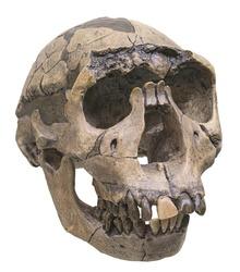 Skull of Homo ergaster.  Early Pleistocene. African Homo erectus or Homo erectus ergaster