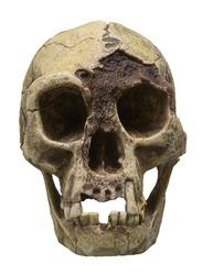 Skull of Homo floresiensis (