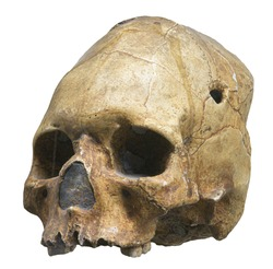 Skull of Homo sapiens sapiens, in anthropology and paleontology, the subspecies of Homo sapiens that consists of the only living members of genus Homo.