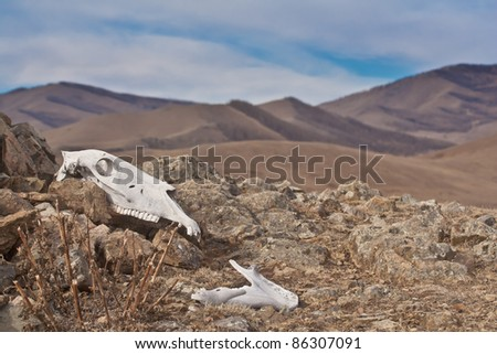 skull of horse in mountainous national park Terelj - Mongolia