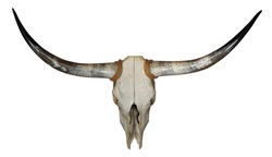Skull of longhorn with rope isolated over white background