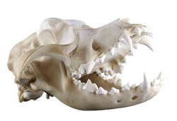 Skull of purebred Saintbernard dog isolated on a white background. Diagonal view. Opened mouth, ideal condition of teeth and bones. Sharp isolation by pen tool. Focus on full depth.