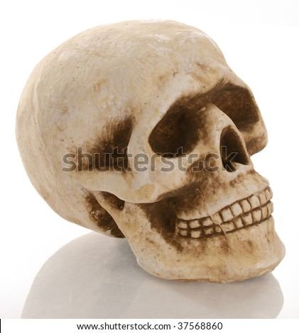 skull skeleton with reflection isolated on white background - stock photo