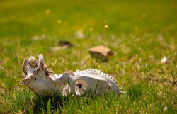 Skull wild animal close-up on nature. Death of animals, pestilence. Pades cattle in a meadow in the highlands.