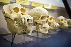 Skulls in a raw showing humans evolution. Human evolution is the evolutionary process that led to the emergence of anatomically modern humans. Charles Darwin applied the theory of evolution.