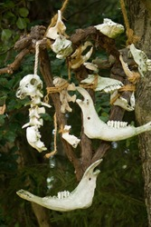 Skulls of small mammal animals tied with ropes hanging on a tree.Skulls, their parts and bones of small mammals hang tied by ropes on a tree.