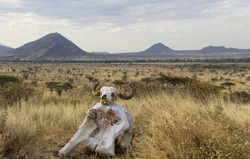 Skulls on top of hill, looking over the plains of Africa, Kenya, hills in the distance.