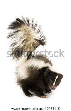 Skunk isolated on a white background