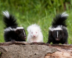 Skunk Kits sitting on log. Note Albino. Controlled conditions.Photographed in Pine County Minnesota.