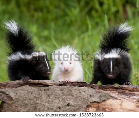 Skunk Kits sitting on log. Note Albino. Controlled conditions.