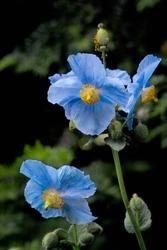 Sky blue flowers of Himalayan blue Tibet Poppy (Meconopsis betonicifolia)