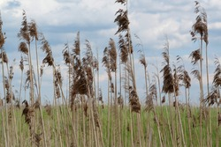 Sky, clouds and dry plants on wind