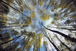 Sky in birch forest. Looking up in birch forest with wide angle lens