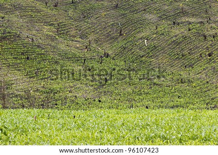 Slash and burn cultivation in Western Ecuador, steep slope cleared and planted with maize seedlings.