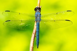 Slaty skimmer dragonfly, Libellula incesta, from Esther Currier Wildlife Management Area in New London, New Hampshire.