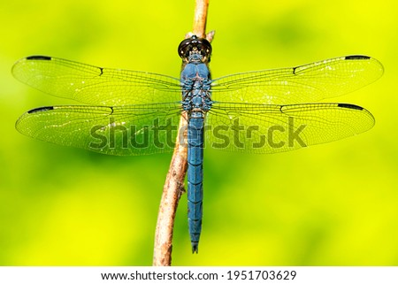 Slaty skimmer dragonfly, Libellula incesta, from Esther Currier Wildlife Management Area in New London, New Hampshire. Foto stock ©