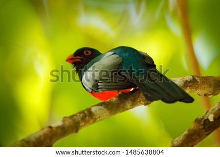 Slaty-tailed trogon, Trogon massena, beautiful bird from Corcovado NP, Costa Rica. Bird in the green tropical forest. Birdwatching in nature. Holiday travel in Central America.
