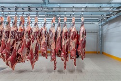 Slaughterhouse: Flewischer inspects freshly slaughtered cattle halves in the cold store of a butcher's shop.