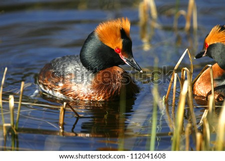 Slavonian grebes swimming in water