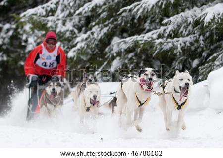 Sled dog racing - focus on first pair of dogs, shallow depth of field.