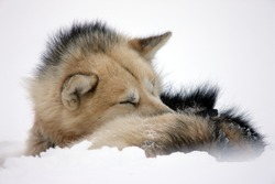 Sled dog rolled up to sleep in the snow, East Greenland, Scoresbysund