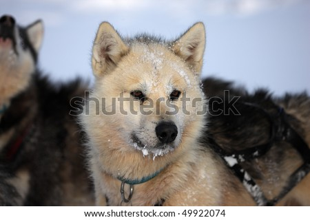 Sled dog with ice in its beard on the winter pack ice of East Greenland