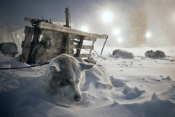 Sled dogs rest in the snow. Next to the dog team lies the traditional Chukchi sled. After the finish of the dogsled race. Cold snowy weather, purga. Anadyr, Chukotka, Siberia, Far East Russia. Arctic.