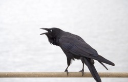 Sleek shiny  Australian black  raven corvus coronoides a passerine bird  perching on a metal railing on a cloudy afternoon in late spring  has been scavenging food scraps on a  suburban street.