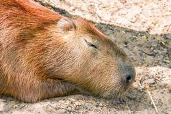 sleep capybara