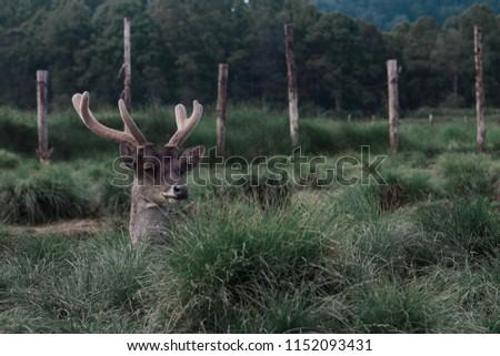 sleepe deer, this picture taken at Ranca Upas Bandung, indonesia