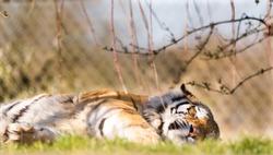 Sleeping Amur tiger