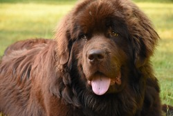 Sleeping and resting brown Newfoundland dog on the grass.