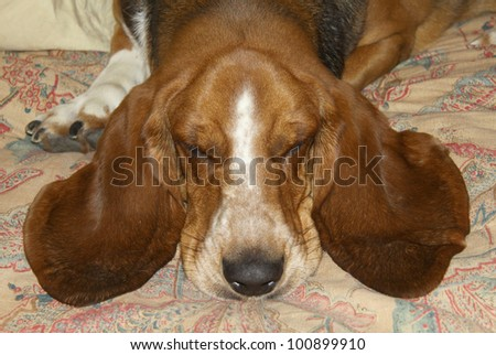 Sleeping basset hound with long, soft, floppy ears