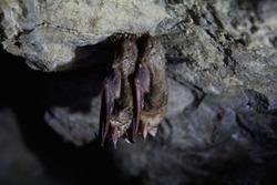 Sleeping bats at the dark cave